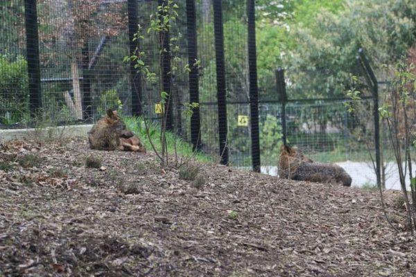 Le loup ibérique