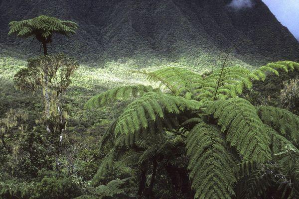 Fougère arborescente Cyathea