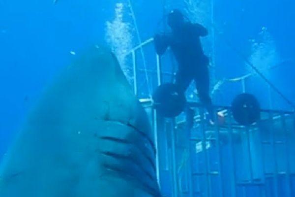 Deep blue, le requin blanc très très grand