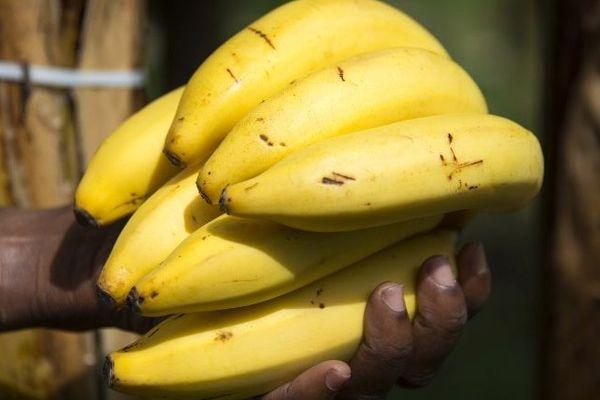 """Après le chlordécone, la banane des Antilles défend ses pratiques """"vertueuses"""""""