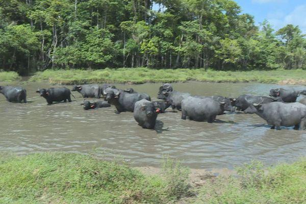 Les bufflons à Sinnamary