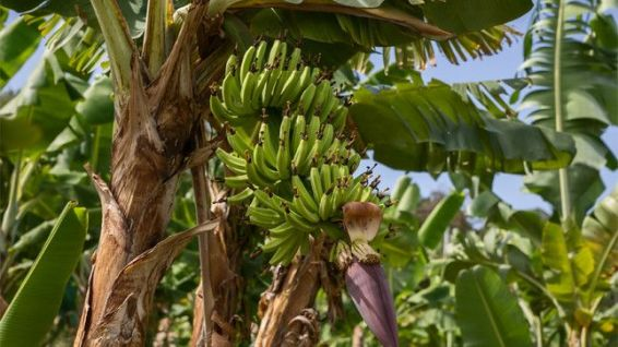Plantation de bananes en Martinique. © iStock / kelifamily
