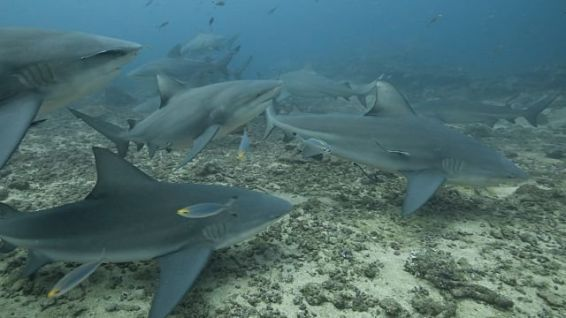 Concentration de requins bouledogue sur un site de nourrissage aux Fidji © DR