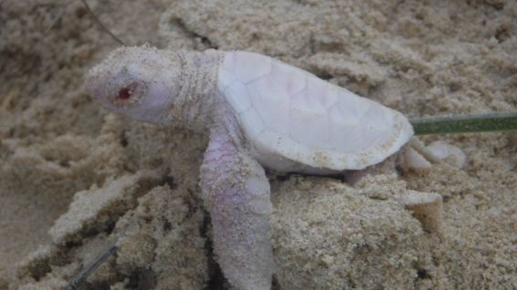 Alby, la tortue verte albinos © Coolum District Coast Care
