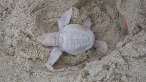 Alby, la tortue verte albinos © Coolum District Coast Care Group