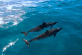 Dauphins de Guadeloupe © Flair Production